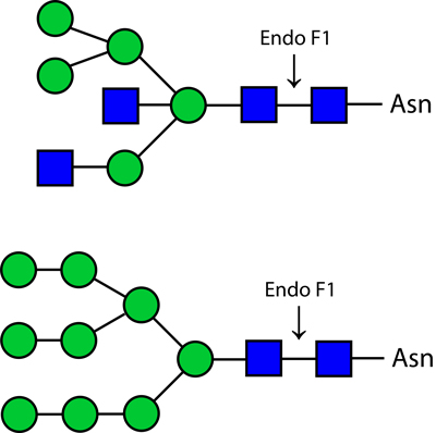 Ludger Endo F1 enzyme structure